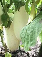 Алькон , семена баклажана (Wing Seeds / Винг Сидс)