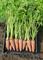 Карсон F1, семена моркови (Bejo / Бейо) - фото 5096