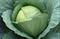 Сателит F1, семена капусты белокочанной (Bejo / Бейо) - фото 5365