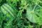 Бостана F1, семена арбуза (Syngenta / Сингента) - фото 6011
