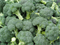 Монрелло F1, семена капусты брокколи (Syngenta / Сингента) - фото 6023