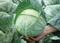 Юниор F1, семена капусты белокочанной (Syngenta / Сингента) - фото 6032
