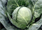 Боликор F1, семена капусты белокочанной (Syngenta / Сингента) - фото 6036