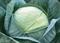Грегориан F1, семена капусты белокочанной (Syngenta / Сингента) - фото 6039