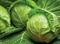 Джетодор F1, семена капусты белокочанной (Syngenta / Сингента) - фото 6042