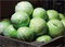 Зенон F1, семена капусты белокочанной (Syngenta / Сингента) - фото 6043