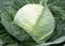 Килагерб F1, семена капусты белокочанной (Syngenta / Сингента) - фото 6046