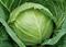Миррор F1, семена капусты белокочанной (Syngenta / Сингента) - фото 6051