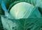 Рамко F1, семена капусты белокочанной (Syngenta / Сингента) - фото 6055