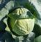 Эластор F1, семена капусты белокочанной (Syngenta / Сингента) - фото 6059