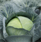 Саксесор F1, семена капусты белокочанной (Syngenta / Сингента) - фото 6060