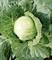 Нозоми F1, семена капусты белокочанной (Sakata / Саката) - фото 6230