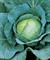 Роял Вонтаж F1, семена капусты белокочанной (Sakata / Саката) - фото 6240