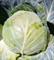 Циклоп F1, семена капусты белокочанной (Sakata / Саката) - фото 6241