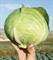 Коронет F1, семена капусты белокочанной (Sakata / Саката) - фото 6246