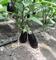 Бенеция F1, семена баклажана (Enza Zaden / Энза Заден) - фото 6686