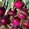 Ламбруско F1, семена лука репчатого (Enza Zaden / Энза Заден) - фото 6703
