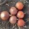 Минди F1, семена лука репчатого (Enza Zaden / Энза Заден) - фото 6706