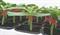 Консиста F1, семена подвоя (Takii Seeds / Таки Сидс) - фото 6841