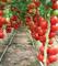 Лилос F1, семена томата индетерминантного (Rijk Zwaan / Райк Цваан) - фото 7431